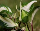 <p>Hosta &acute;Raspberry Sundae&acute;</p>