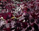 <p>Heuchera &acute;Frosted Violet&acute;</p>