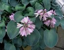 <p>Hosta &acute;Blue Mouse Ears&acute;</p>