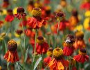 <p>Helenium &acute;Moerheim Beauty&acute;</p>