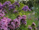 <p>Phlox &acute;Hesperis&acute; et &acute;Sweet Summer Fragrance&acute;</p>