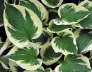 <p>Hosta &acute;Patriot&acute;</p>