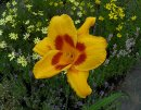 <p>Hemerocallis &acute;Black Eyed Susan&acute;</p>