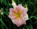 <p>Hemerocallis &acute;China Bride&acute;</p>