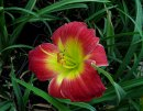 <p>Hemerocallis &acute;Christmas Is&acute;</p>