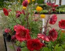 <p>Geum &acute;Flames of Passion&acute;</p>