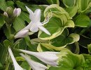 <p>Hosta &acute;Diana Remembered&acute;</p>