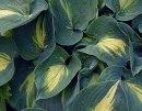 <p>Hosta &acute;Dream Weaver&acute;</p>