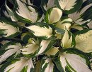 <p>Hosta &acute;Fire &amp; Ice&acute;<em><br /></em></p>