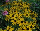 <p>Rudbeckia &acute;Little Gold Star&acute;</p>