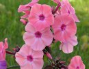 <p>Phlox &acute;Sweet Summer Dream&acute;</p>