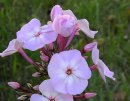 <p>Phlox &acute;Sweet Summer Favourite&acute;</p>