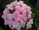 <p>Phlox &acute;Sweet Summer Fragrance&acute;</p>