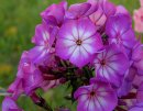 <p>Phlox &acute;Sweet Summer Surprise&acute;</p>