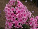 <p>Phlox &acute;Miss Pepper&acute;</p>