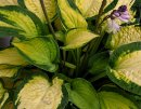 <p>Hosta &acute;Orange Marmelade&acute;</p>