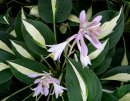 <p>Hosta &acute;Risky Business&acute;</p>