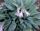 <p>Hosta &acute;Sherborne Swift&acute;</p>