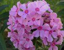 <p>Phlox &acute;Sweet Summer Melody&acute;</p>