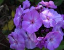 <p>Phlox &acute;Sweet Summer Tempation&acute;</p>